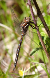 Springtime Darner (B. janata) - Male