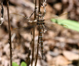 Springtime Darner (B. janata) - Female