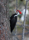 Pileated Woodpecker 5570