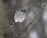 Northern Shrike 5209