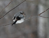 Northern Shrike 5176