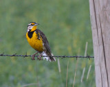 Meadowlarks & Dickcissels - June 2010