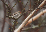 Common Redpoll 0121