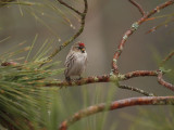 Common Redpoll 0175