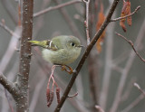 Ruby-crowned Kinglet 0256