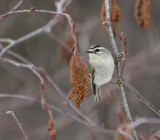 Golden-crowned Kinglet 0253