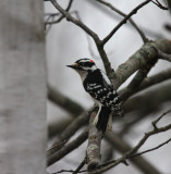 Downy Woodpecker 0214