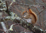 Red Squirrel 0095