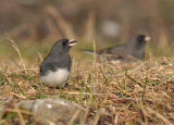 Dark-eyed Junco 0356