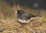 Dark-eyed Junco 0359
