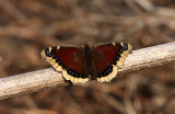 Mourning Cloak 0444