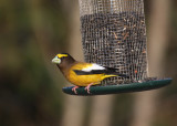 Evening Grosbeak 0594
