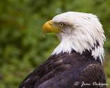 Bald Eagle Gallery