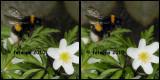 fotoopa 20100403_729 Aardhommel Bombus terrestris