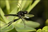 Bibionidae - march fly - zwarte vlieg_16188