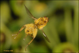 Scatophaga stercoraria fly_16642