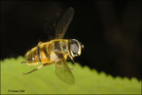 hoverfly_16701