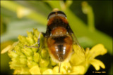 hoverfly_16769