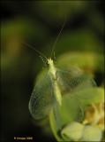 Chrysoperla carnea_16961.