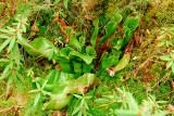 Northern Pitcher Plant (Sarracenia purpurea)