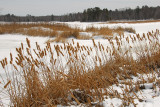 Cattail marsh at the Chippewa Flowage, WI
