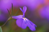 Lobelia Flower (see also next one)