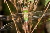 Common Green Darner, Anax junis (teneral)