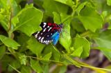 Faithfull Beauty (aka Unce Sam Moth )