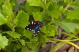 Faithfull Beauty (aka Uncle Sam Moth )