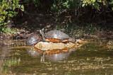 Redbelly Turtle - Everglades