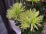 108 cryanthamum.jpg