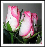 pink n white roses smudged in Photoshop