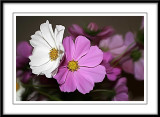 cosmos smudged in Photoshop
