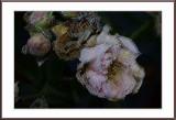 frozen mini climbing roses