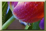 drops on tulip