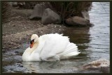 The swan doesnt look too happy.....