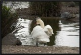 What did the swan see?