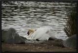 The swan still has ruffled feathers...