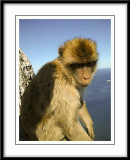 Barbary Ape...