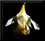 Fading daffodil....