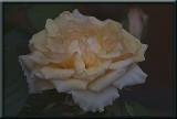 mini rose...