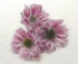 pink crysanths