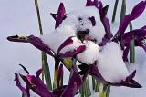 mini Iris with snow