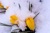 yellow snow covered crocus