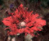 frilly poppy.jpg
