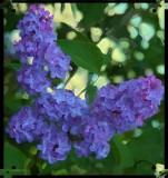 lilac .jpg