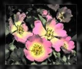 wild-roses.jpg
