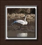 swan-1.jpg
