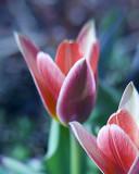 botanical tulip 4