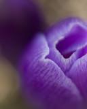 purple crocus 2